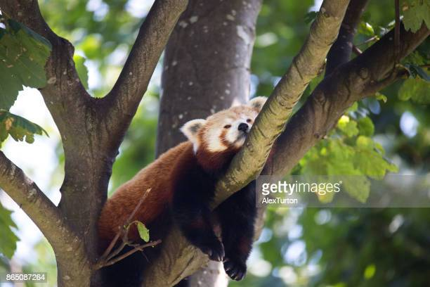 red panding in a tree