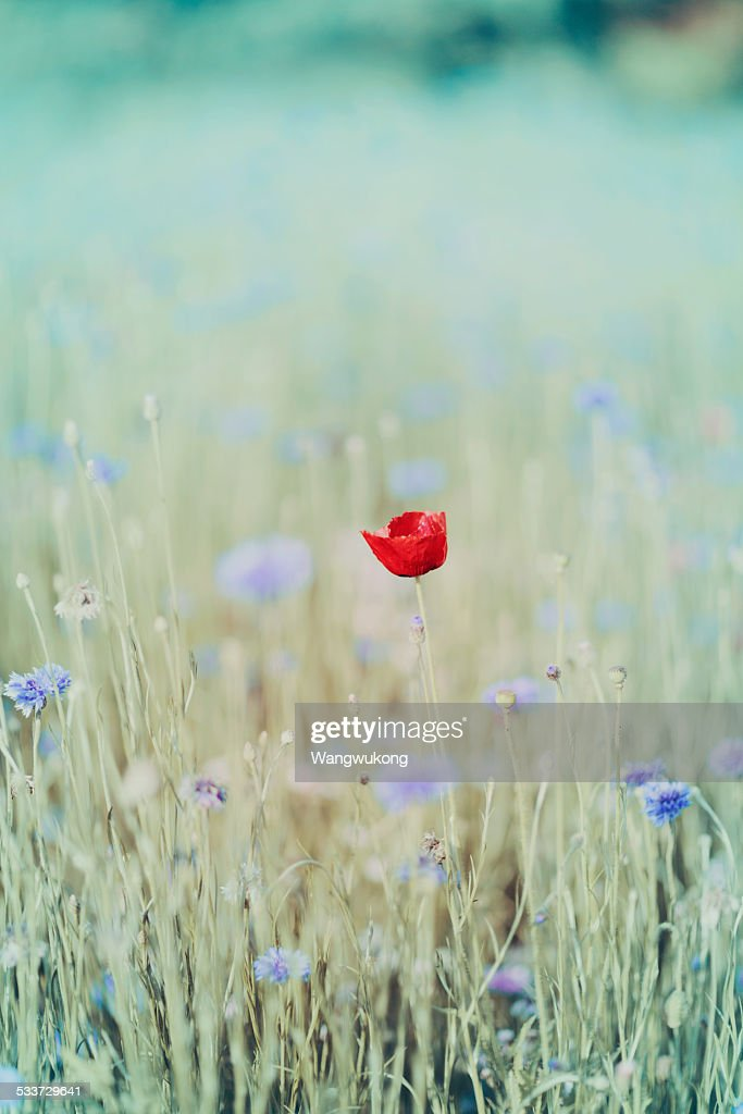red Papaver rhoea : Foto stock