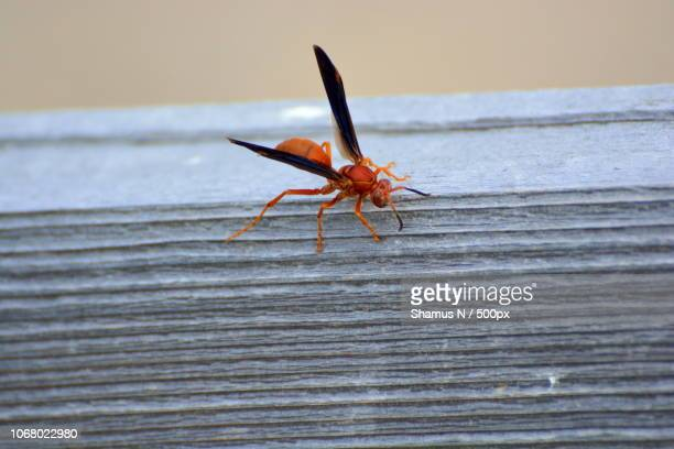 red paper wasp (polistes carolina) on wood - paper wasp stock pictures, royalty-free photos & images