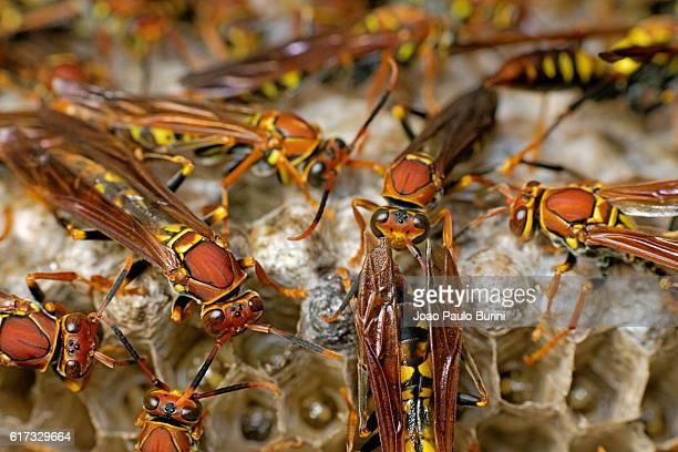red paper wasps hive - paper wasp stock pictures, royalty-free photos & images