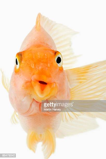 red parrotfish full frontal view. - full frontal stock photos and pictures