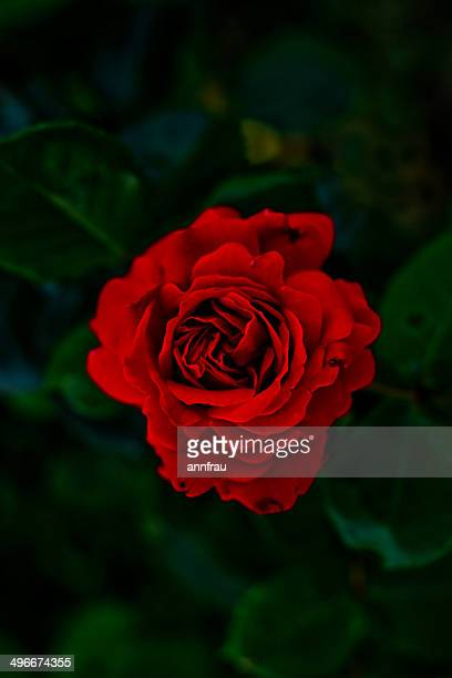 red passion - annfrau stock pictures, royalty-free photos & images