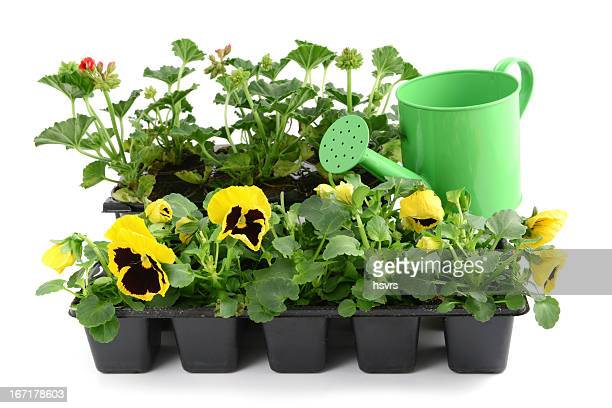 red Pelargonium (Cransbill) and yellow pansy with water can