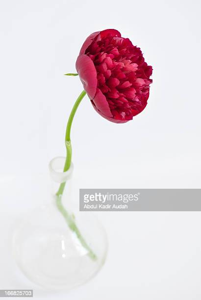 Red peony in glass vase