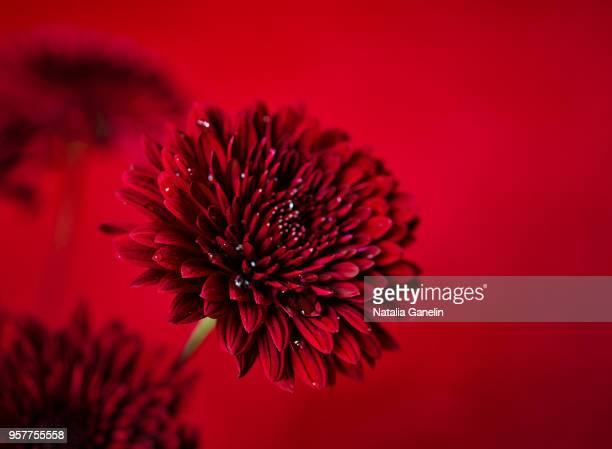 red - chrysanthemum stockfoto's en -beelden