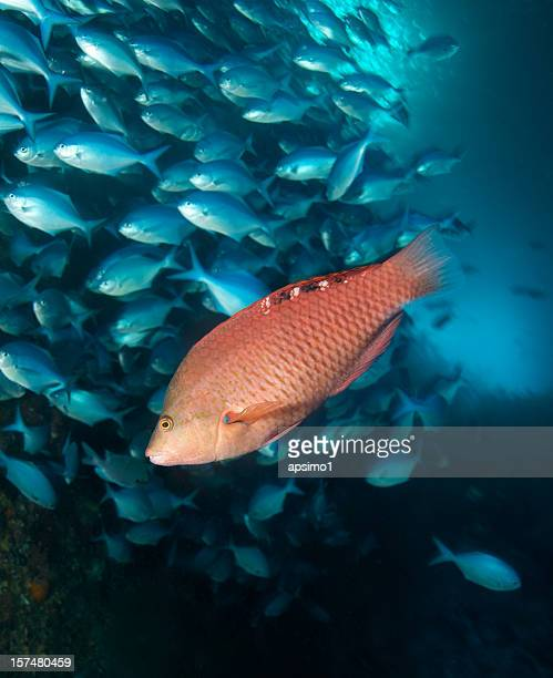 red pig fish  - redfish stock photos and pictures