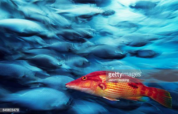 Red pigfish swimming against school of Demoiselle fish (New Zealand)
