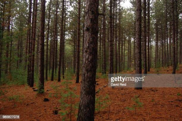 red pine - reid,_wisconsin stock pictures, royalty-free photos & images