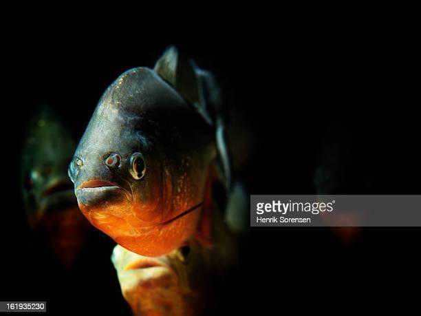 red piranha, pygocentrus nattereri - piranha photos et images de collection