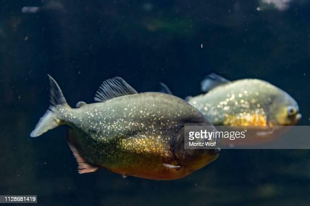 red piranhas (pygocentrus nattereri), captive, canada - piranha photos et images de collection