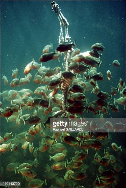 Red piranhas devour a lamb in Blois, France on January 14, 1998.