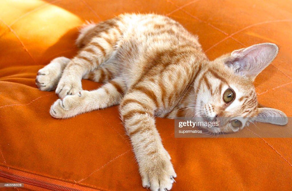 Red playful kitten : Stock Photo