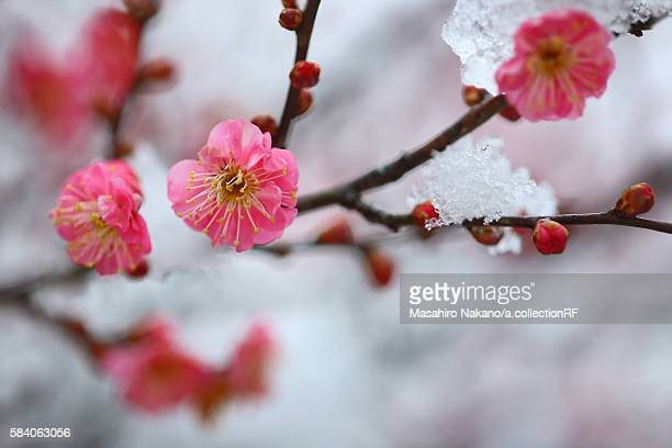 Red Plum Blossom in Snow
