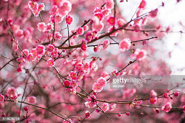 Red Plum Blossoms Blooming in spring