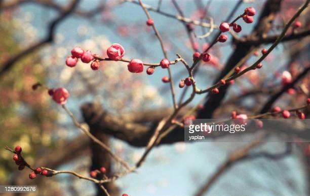 red plum buds - 蕾 ストックフォトと画像