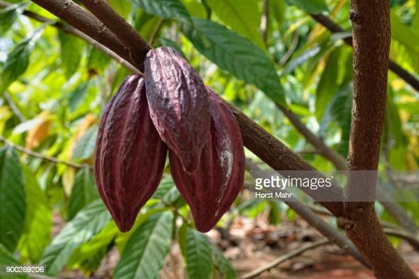 Red pods (Theobroma cacao), Plantation, Plantacion Tikul, Ecomuseo del Cacao, Xlapak, the state of Yucatan, Mexico