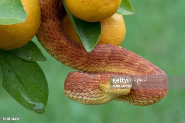 Red Poisonous Bush Viper Snake in Fruit Tree