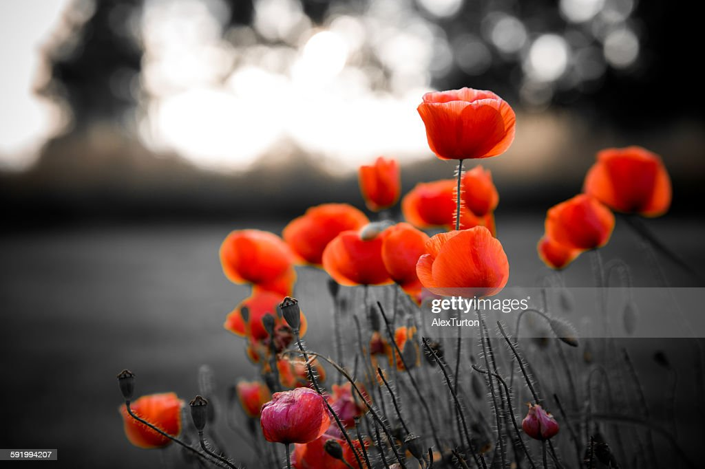 Red poppies against black and white background : Stock Photo