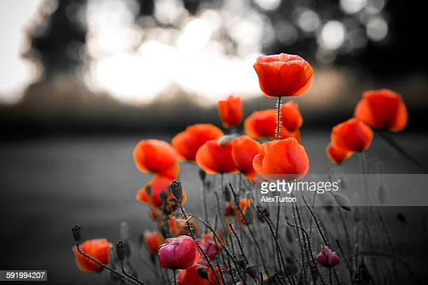 red poppies against black and white background - armistice day stock photos and pictures
