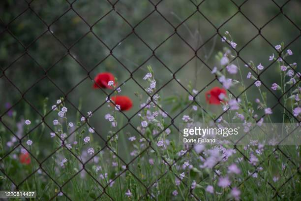 red poppies and pink flowers behind a fence - dorte fjalland stock pictures, royalty-free photos & images