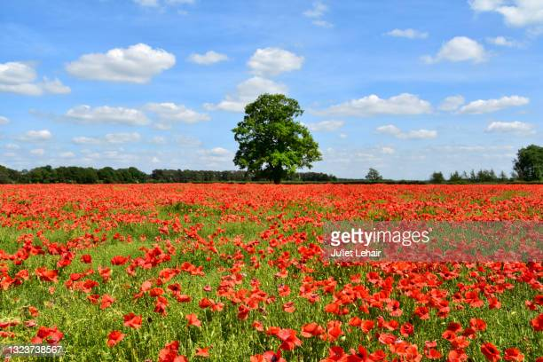 red poppies and tree. - norfolk england stock pictures, royalty-free photos & images