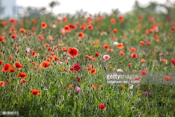 red poppies blooming on field - bucheon stock pictures, royalty-free photos & images
