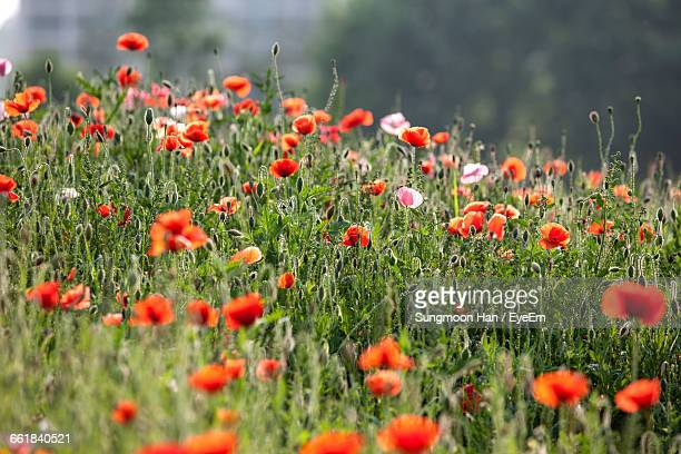 red poppies blooming outdoors - bucheon stock pictures, royalty-free photos & images