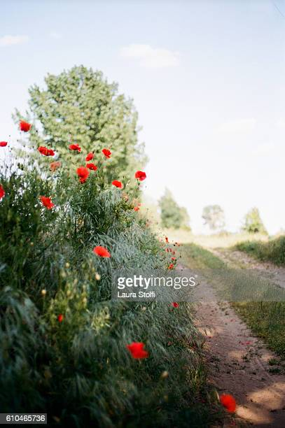 red poppies blossom in italian countryside. taken on film. - entourage film stock pictures, royalty-free photos & images