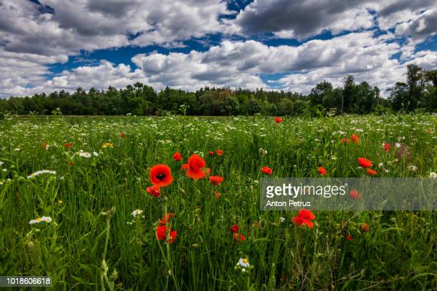 Red poppies blossom on wild field.