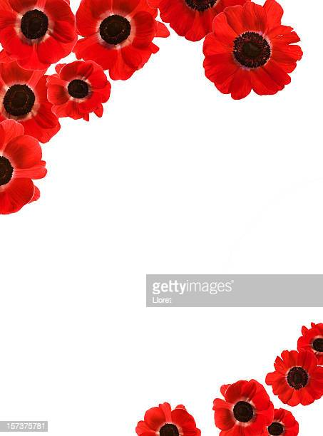 red poppies border with copy space (xxxl) - poppy stock pictures, royalty-free photos & images