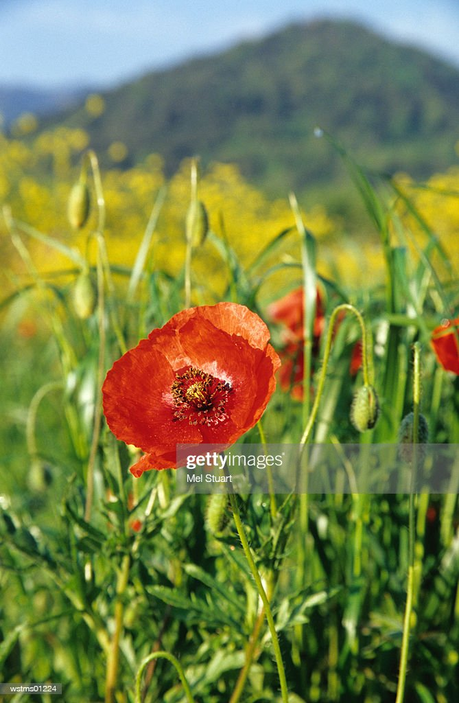 Red poppies, close up, Costa Brava, Spain : Foto de stock
