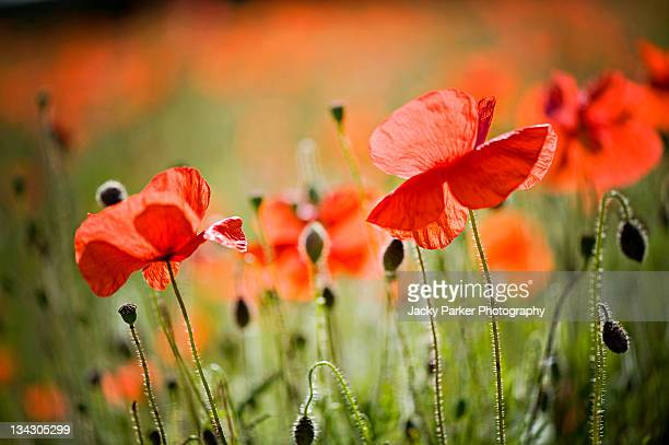 red poppies field - poppy field stock photos and pictures