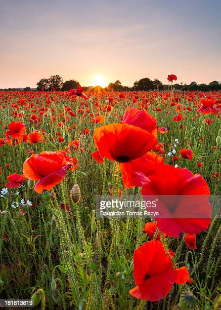 red poppies field - oxfordshire stock pictures, royalty-free photos & images