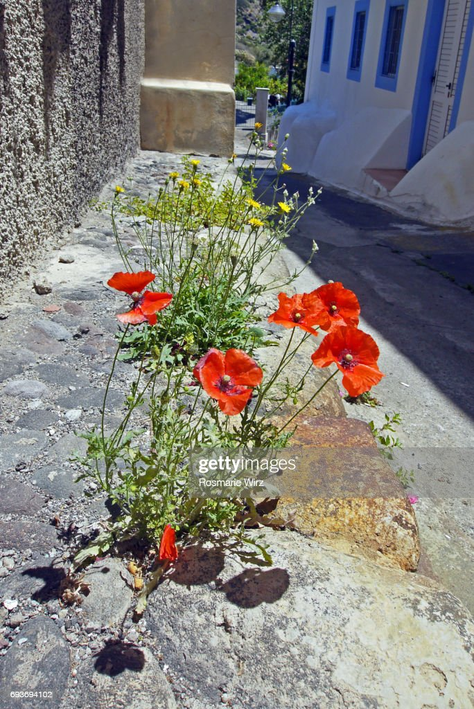 Red Poppies Growing On Village Street Stock Photo - Getty Images