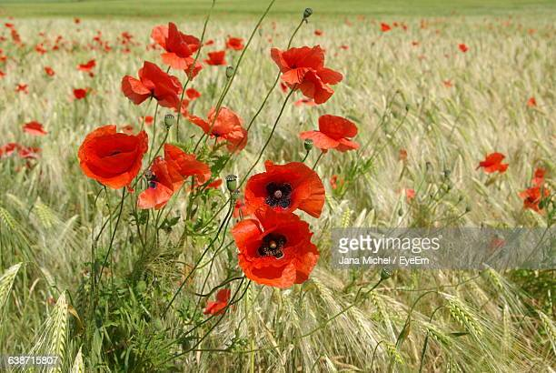 Red Poppies Growing On Wheat Field