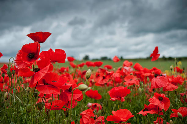 """Red poppies, overcast clouds, UK"""
