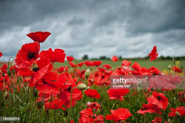Red poppies in a field with a cloudy sky