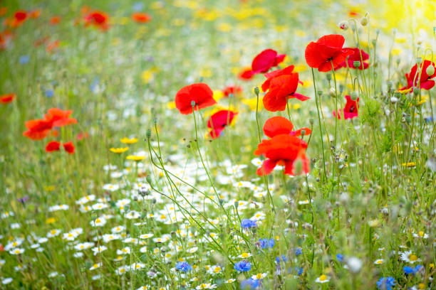 Red Poppies in a flower meadow
