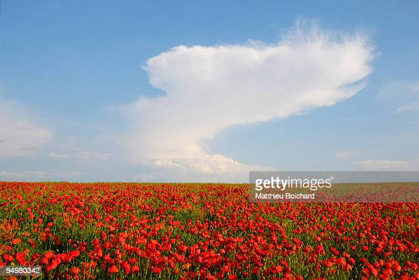 Red poppies in Champagne's field with curved cloud