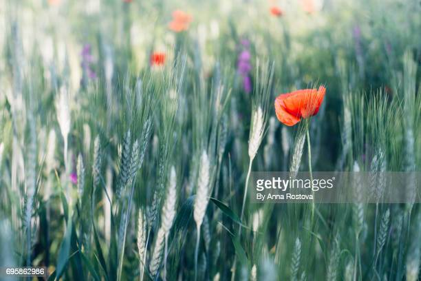 red poppies in dark green rye field - ivraie photos et images de collection