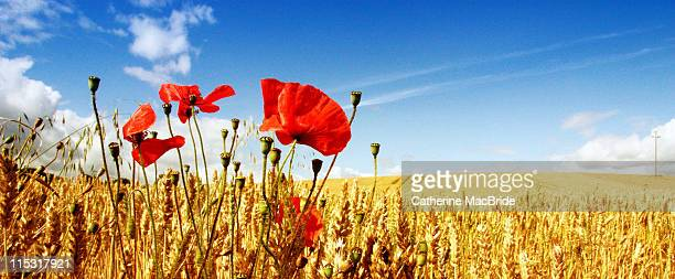 red poppies in golden wheat field - catherine macbride stock pictures, royalty-free photos & images
