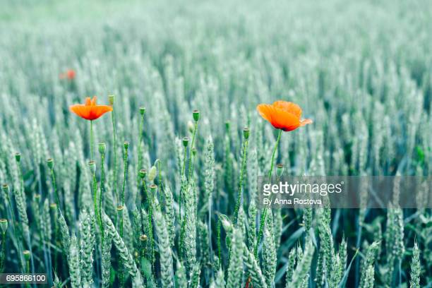 red poppies in green rye field - ivraie photos et images de collection