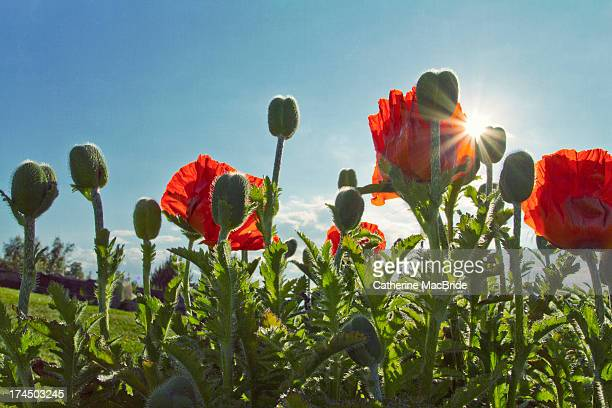 Red Poppies in the summer sun...