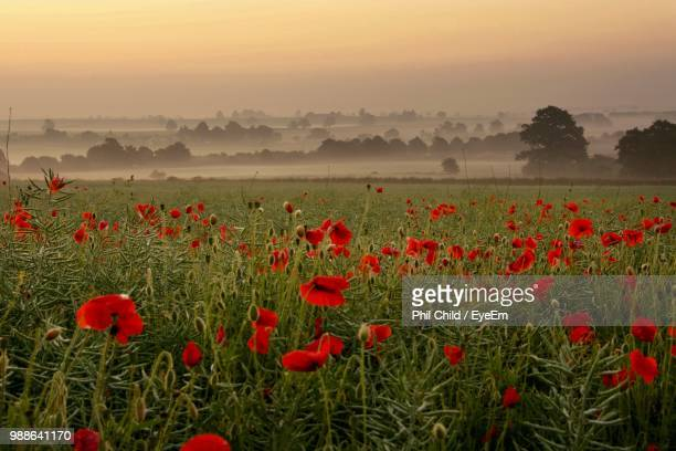 red poppies on field against sky during sunset - poppy field stock photos and pictures
