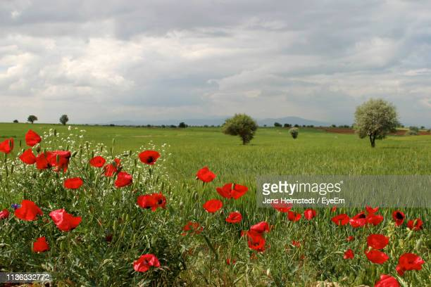 red poppies on field against sky - jens helmstedt stock-fotos und bilder