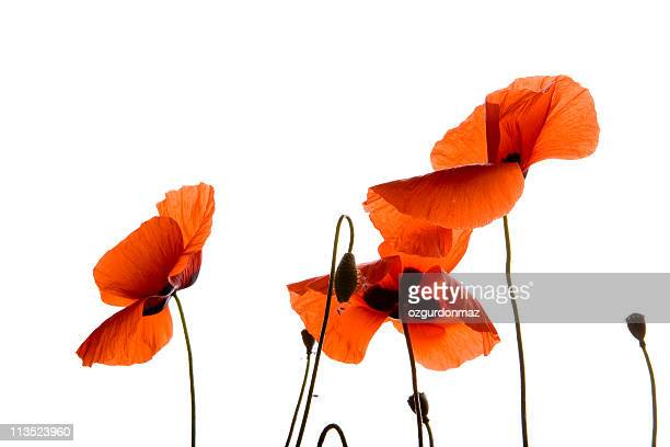red poppies - oriental poppy stock pictures, royalty-free photos & images