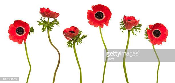 Red Poppies (XXL+)