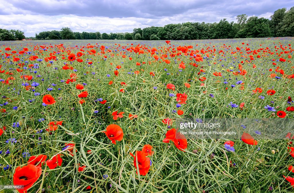 Red poppy and blue cornflower field : Stock Photo