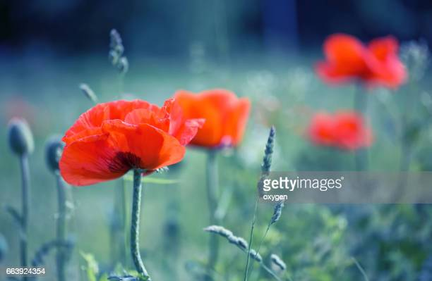 red poppy and natural background,