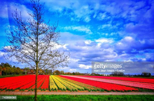 Red Poppy Blooming On Field Against Sky